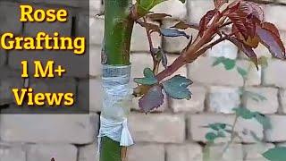 Rose grafting kesay krain fully described