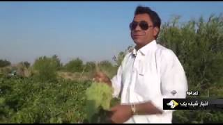 Iran Grapes harvest, Summer 1398, Cheshmeh-Bid village, Zir-Kuh county انگور روستاي چشمه بيد زيركوه