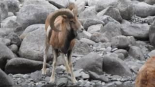 Ladakh urial HD, Shapo, male, Ovis aries vignei, wild, wild animals, wild animals ladakh, Leh ladakh