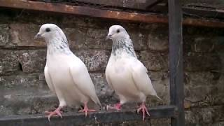 pigeon Chuawa young pair-Choohe Kabooter-Sialkoti kabooter