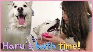 woori STORY: bath time for haru, our siberian husky!