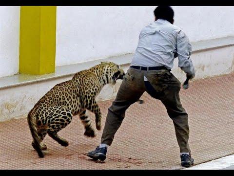Ataque de grandes felinos Attack of the Big Cats
