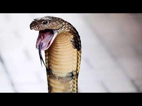 İlk 10 - Dünyanın en büyük 10 yılan türü