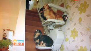 Dogs (dachshunds) on stairlift - Daybreak ITV1