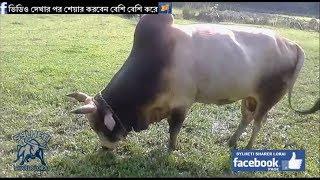 Sylheti Bisal DOTYAL Biswanath -Batpara- Fighter Bull
