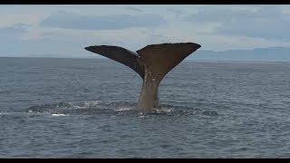 A Sperm Whale Tale (4K)