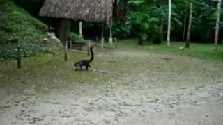 Messico, Tikal - Lemure