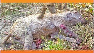 2 Hyenas Brutally Attack Another Hyena