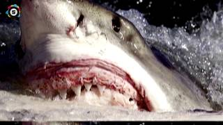 WHEN SHARKS ATTACK ! - 8 Horrific Shark Encounters You Won't Believe!