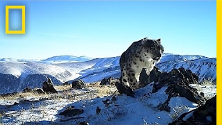 Camera Traps Reveal the Wild, Elusive Lives of Snow Leopards   National Geographic