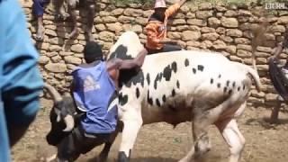 مصارعة الثيران للفوز بزوجة المستقبل في مدغشقر