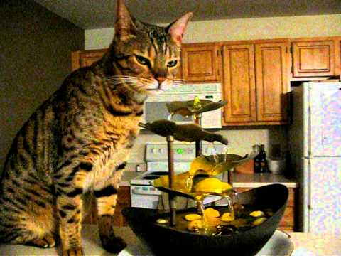 Bengal Cat Drinks from Fountain