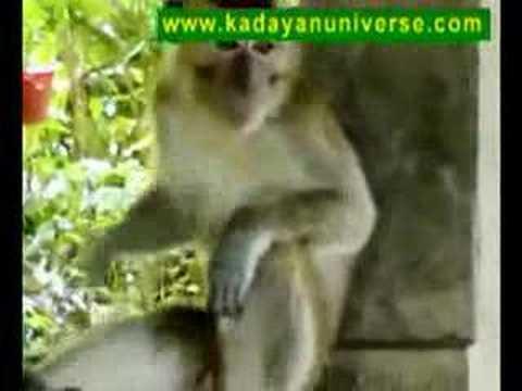 Lonely sex Borneo - poco-poco sexy malay monkey