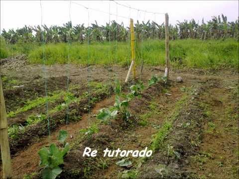Cultivo de Pepino .wmv
