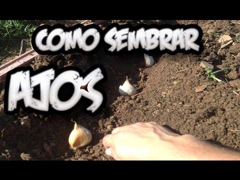 Como Sembrar Ajos Huerto Organico La Huertina De Toni