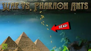 WAR vs. PHARAOH ANTS