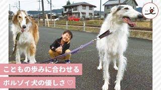 【優しいボルゾイ犬】子供のスピードに合わせて、お散歩♡【 PECO TV 】