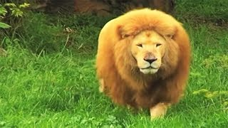 Zookeeper tosses soccer ball to bored lion in zoo. He stuns everyone with his incredible skills