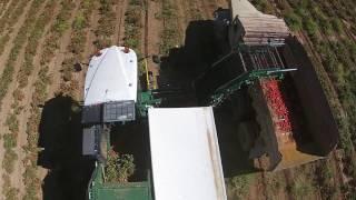 2016 09 18 Tomato harvesting 2
