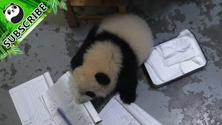 The best panda secretary ever!