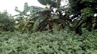 Brinjal Pest Control Service - Agri Consultancy -  Complete Weed Control at Rs 3000/ Acre