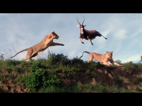 Leaping Lion Catches Antelope In Mid Air Attack