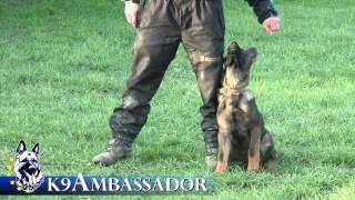 Puppy Obedience Training - Forest - 3 1/2 - 4 1/2 Months Old German Shepherd Dog / K9 Ambassador