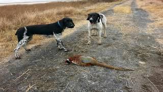 Utahs general pheasant hunt opens Nov. 4
