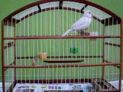 Joaquim o meu canario Branco cantador.