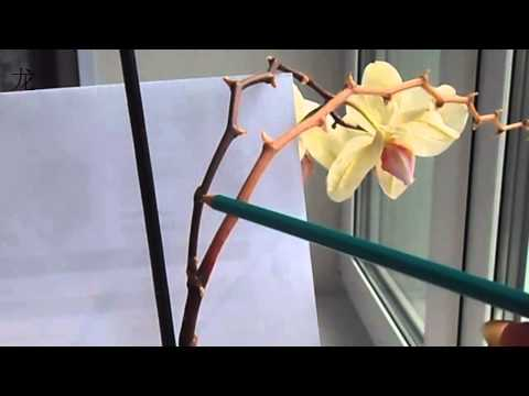 Орхидеи отцвели что делать с цветоносом