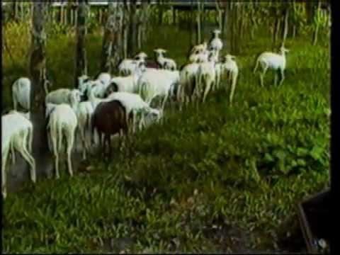 Crianza de ovinos de pelo en la selva tropical