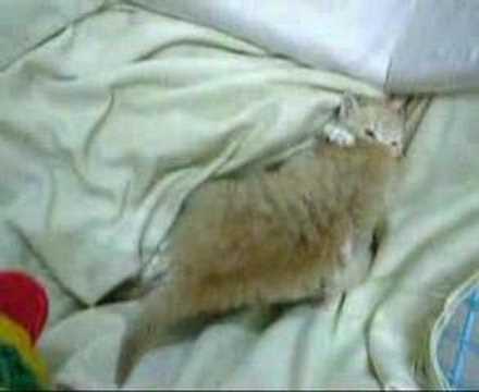 細貓飲完奶奶打交 little cat fight after eat
