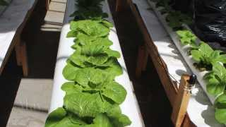Growing Lettuce in the MIA System