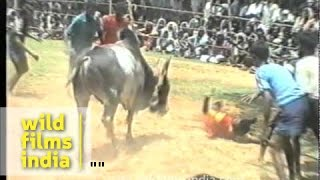 South Indian Bull fighting gone horribly wrong