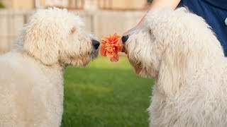 GoldenDoodle Brothers Reunite