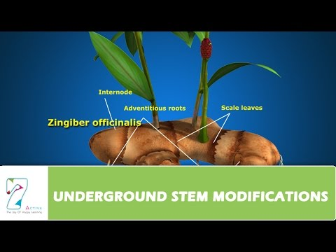 UNDERGROUND STEM MODIFICATIONS