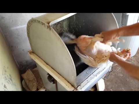 Depenador de frango AGMAC dfm 1.5 máquina depenando 1 galinha CAIPIRA em menos de 1 minuto