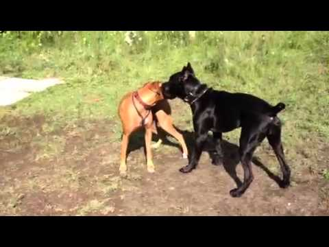 Xxx Mp4 Millie The Boxer X First New Dog Meeting 3gp Sex