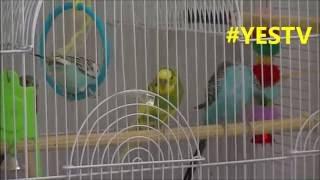 budgie trick 'BUDGIE WHISPERER' parakeet's swing