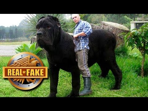 Xxx Mp4 WORLD S BIGGEST DOG 2017 Real Or Fake 3gp Sex
