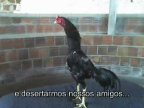 510 Anos de Avicultura Esportiva no Brasil