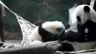 panda mother hugs baby panda