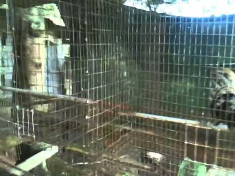 Gallos en Barrio Salto Abajo Utuado Puerto Rico MOV