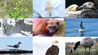 The Arctic Animals for Children: pronunciation in English (with videos)