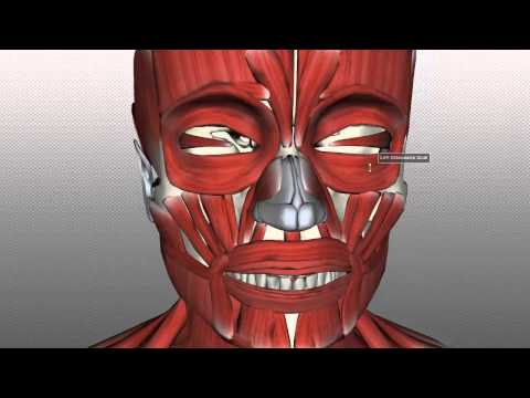 Xxx Mp4 Muscles Of Facial Expression Anatomy Tutorial PART 1 3gp Sex