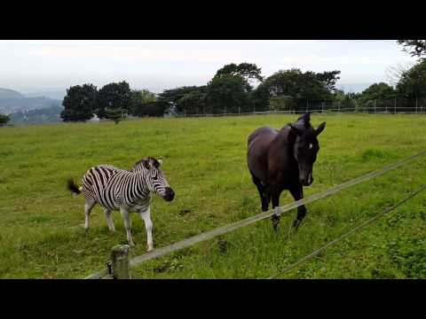 Horse and zebra play fighting