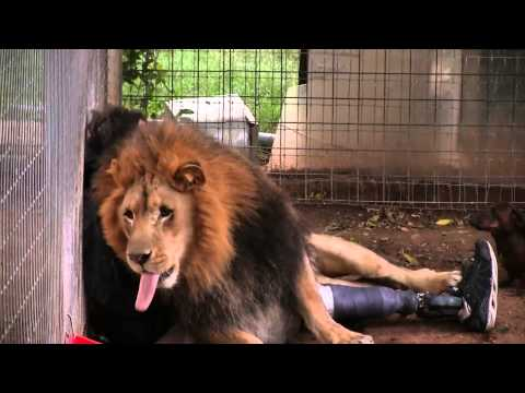 Lion Attacks Man with Love