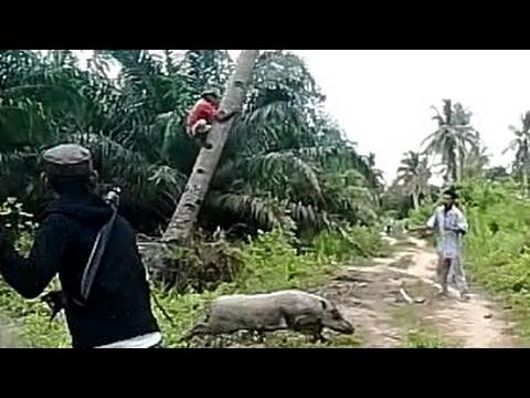 Vidio lucu , ketakutan pemburu babi naik pohon kelapa
