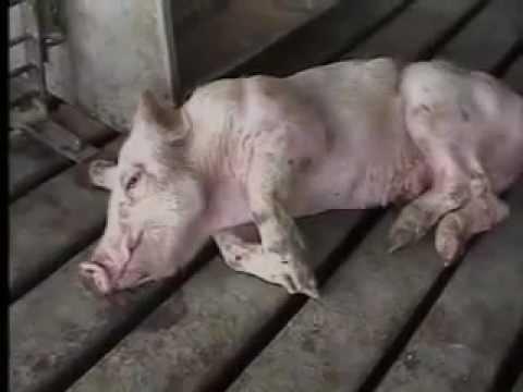 Increíble video. Así matan a los animales que nos comemos.
