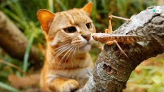 Ce chat mange des insectes ! - ZAPPING SAUVAGE
